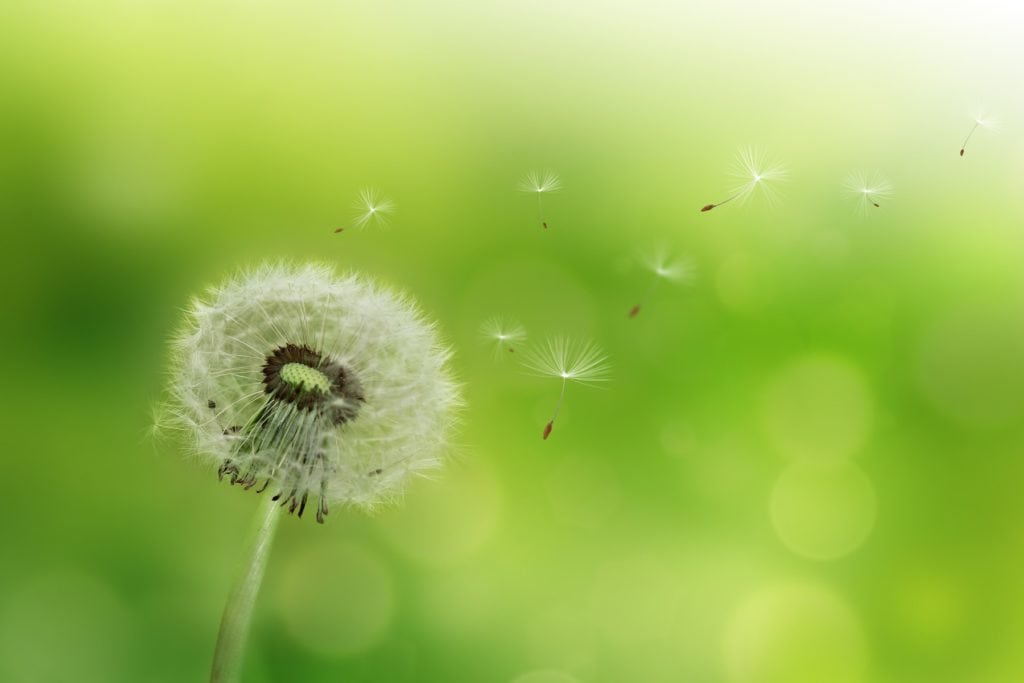 Dandelion blowing seeds in the wind against a green background